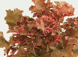 heuchera - (Biologie, Garten, Pflanzen)