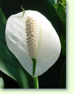 Einblatt bzw. Blattfahne - (Farbe, Pflanzen, Schmuck)