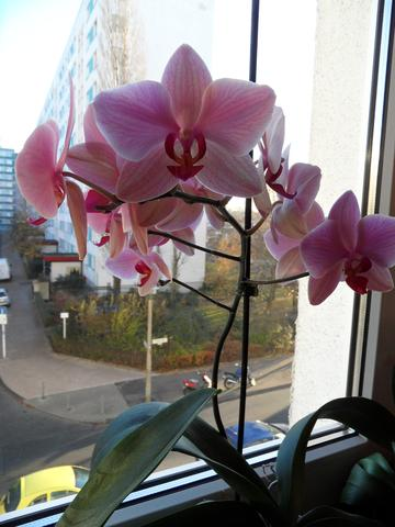 meine rosa Orchidee - (Farbe, Pflanzen, Schmuck)