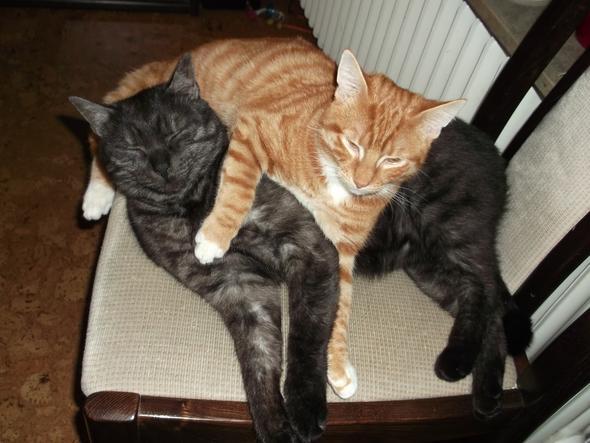 Katerkumpels - (Katzen, Kitten)