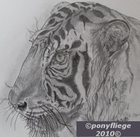 zeichnung - tiger - graphit 30x30cm auf lana220 - copyright ponyfliege 2010 - (Kunst, zeichnen, malen)