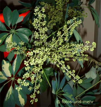wei jemand ob diese pflanze bl ten bekommt pflanzen. Black Bedroom Furniture Sets. Home Design Ideas