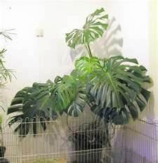 Monstera   (Pflanzen, Bad, Zimmerpflanzen)