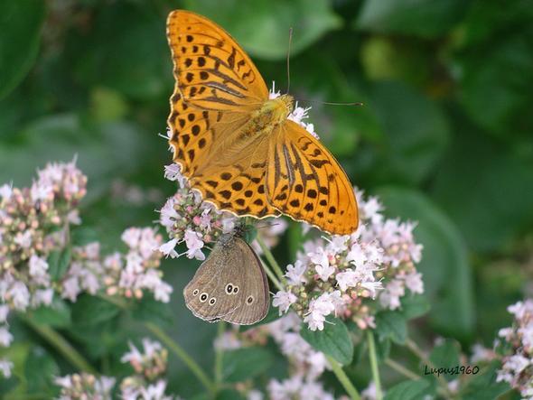 Oregano - (Pflanzen, Insekten, bienenweide)