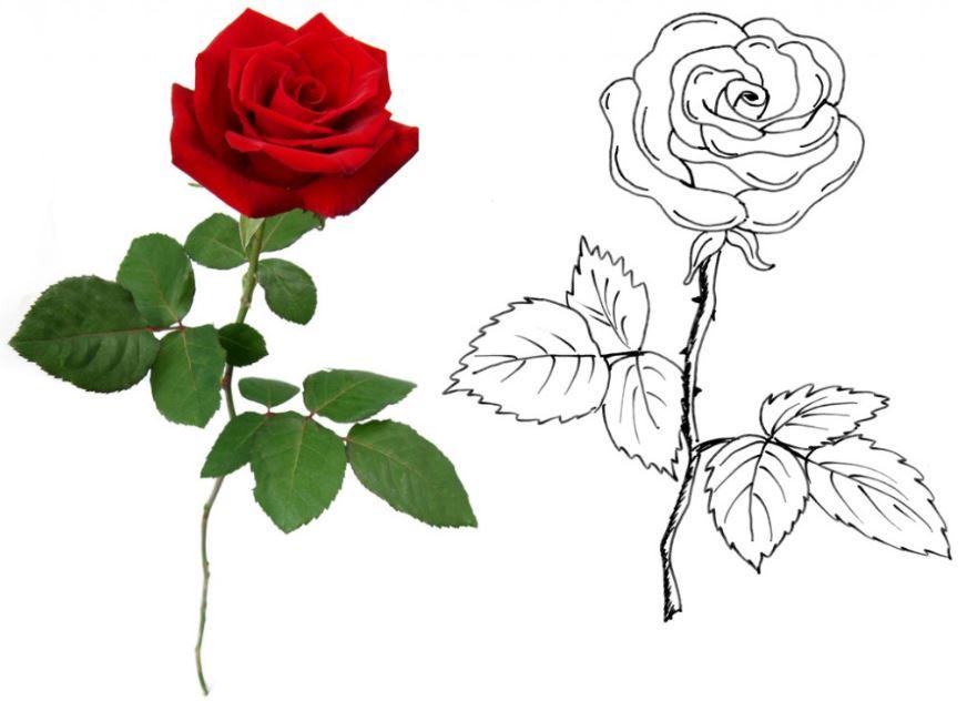 rose zeichnen rosen