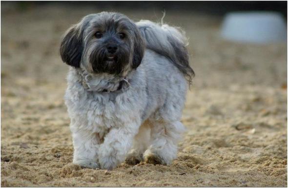 welche hunde verlieren wenig oder keine haare hund allergie fell