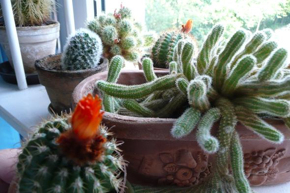kakteen ableger wann umtopfen pflanzen kaktus. Black Bedroom Furniture Sets. Home Design Ideas