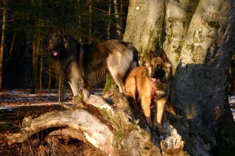 - (Hund, Haustiere, Welpen)