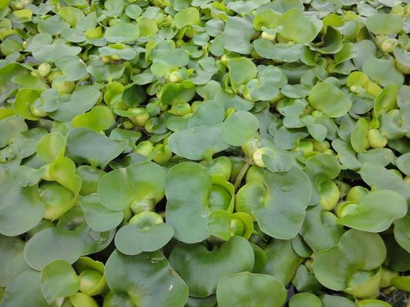 Wasserhyazinthen - (Garten, Pflanzen, empfehlenswert)