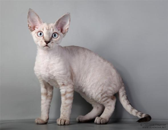 Devonshire Rex Cat Black