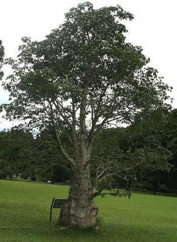 der echte Affenbrotbaum - (Pflanzen, Baum, Samen)