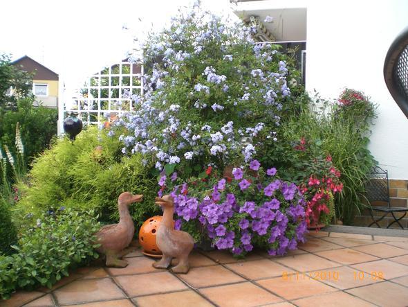 plumbago st mmchen nur im k bel oder auch gut f r vorgarten garten k belpflanze. Black Bedroom Furniture Sets. Home Design Ideas