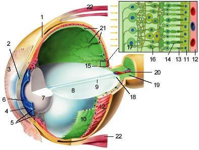 aufbau des auges - (Augen, Schutz, Definition)
