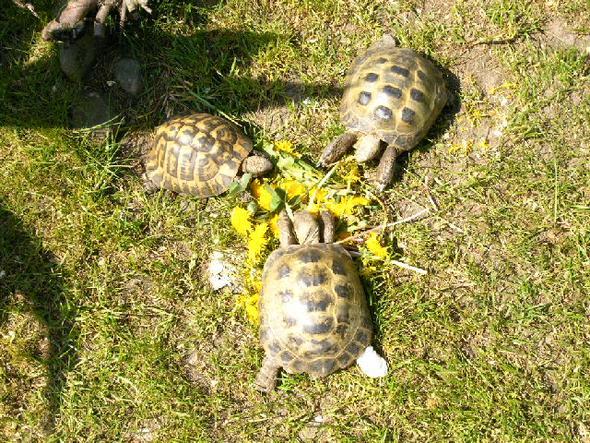 Ein Grieche und zwei Vierzehen-Schildkröten  - (Tierhaltung, Schildkröten, Landschildkröten)