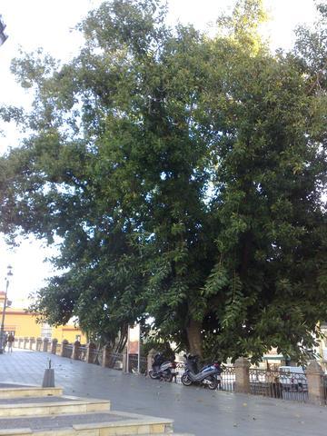 Gummibaum in Sevilla - (Pflanzen, Pflege, Spanien)