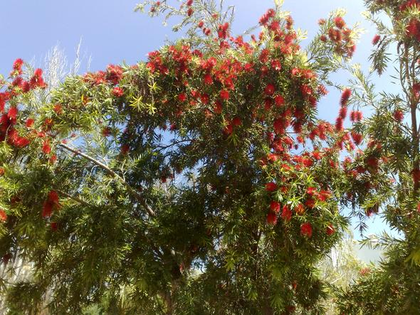 """""""Pfeifenputzerbaum"""" in Andalusien - (Pflanzen, Pflege, Spanien)"""