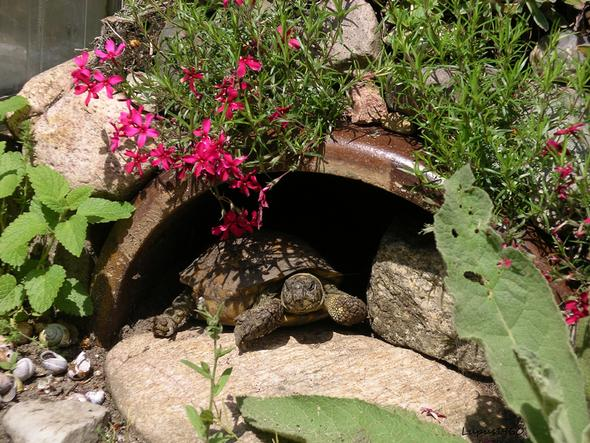 Vierzehenschildkröte - (Tierhaltung, Schildkröten, Landschildkröten)