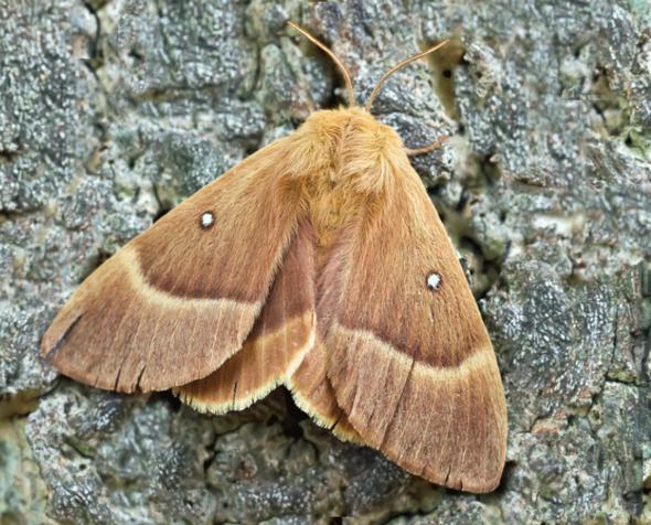 Eichenspinner - (Freizeit, Schmetterling, raupe)