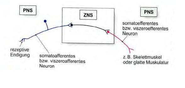 wie funktioniert der informationsfluss in unserem nervensystem ...