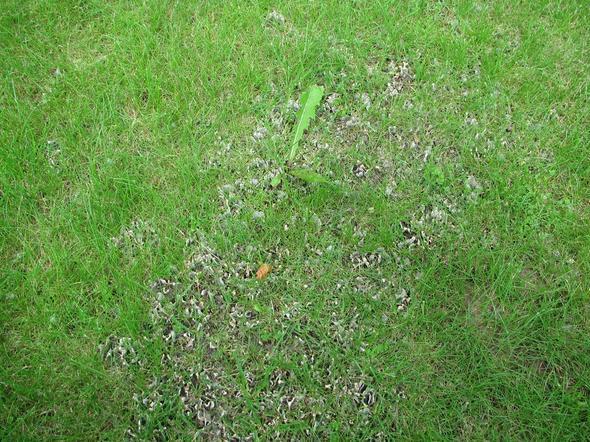 Pilzbefall Rasen
