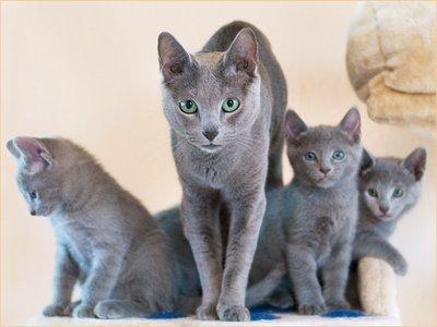 Russisch Blau - (Tiere, Haustiere, Katzen)