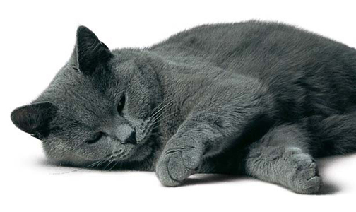 Kartäuser - (Tiere, Haustiere, Katzen)