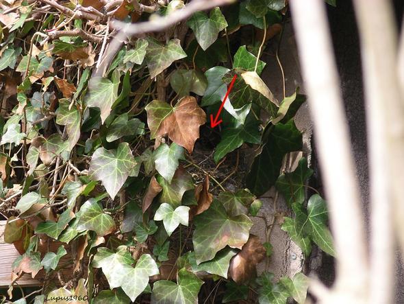 Amselnest im Efeu - (Garten, Efeu)