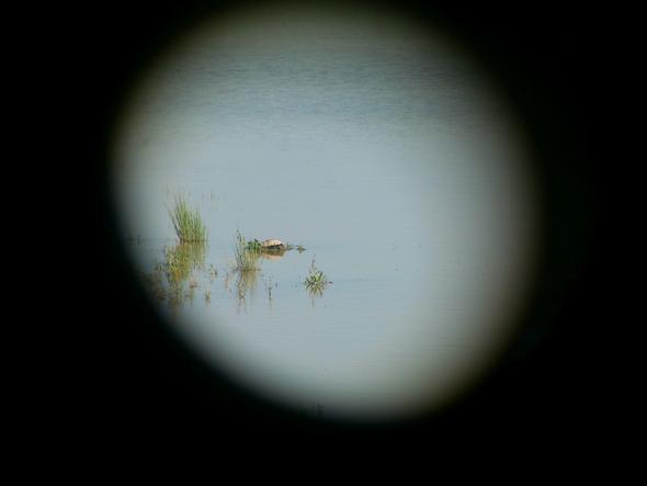 Schildkröte durchs Fernglas - (Tiere, Bilder, Schildkröten)