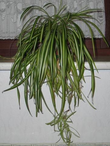 ältere Pflanze - (Pflanzen, Pflanzenpflege, Zimmerpflanzen)