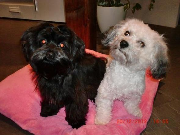Freddy und Fenja - unsere Havaneser - (Hund, iwqhejknads)