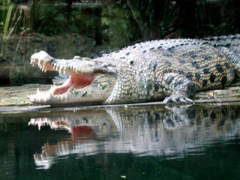 - (Tiere, Schlangen, Krokodil)