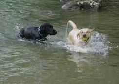 Wasser-Labbi...:-)))) - (Hund, lernen, schwimmen)