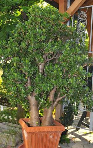 Dickblattgewächs - (Pflanzen, Blumen, Pflanzenpflege)