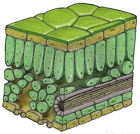 was bedeutet 39 lm bau 39 des laubblattes biologie abitur gymnasium. Black Bedroom Furniture Sets. Home Design Ideas