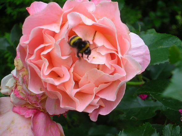 Rosenblüte - (Geschenk, Rosen)