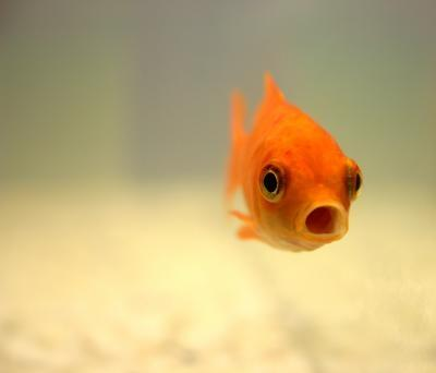 welches aquarium ist das beste f r goldfische tiere haustiere fische. Black Bedroom Furniture Sets. Home Design Ideas