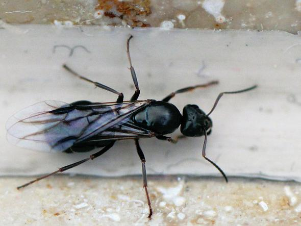 Komische fliegen in der n he von ameisenl chern biologie natur insekten - Ameisen in der wand ...