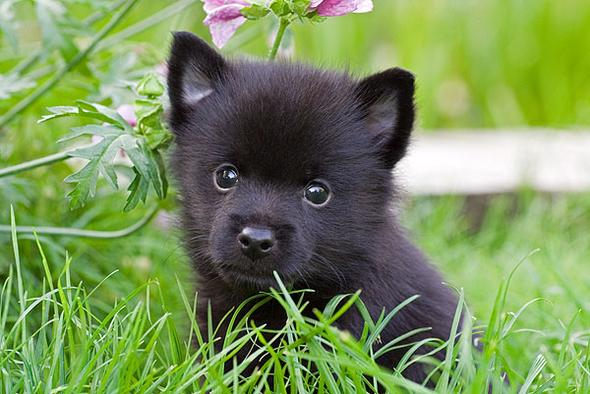 What Does A Schipperke Dog Look Like