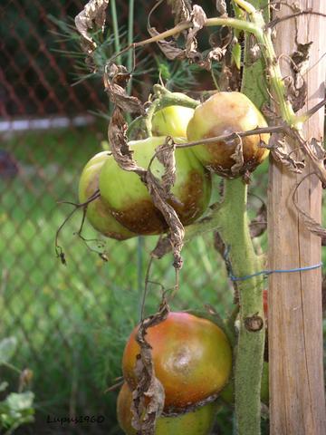Braun- und Krautfäule - (Krankheit, Garten, Pflanzen)
