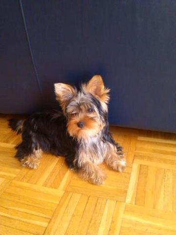 Mein Yorkie Welpe - (Tiere, Hund, Haustiere)