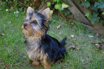 Mein Yorkie Welpe - (Tiere, Hund, klein)