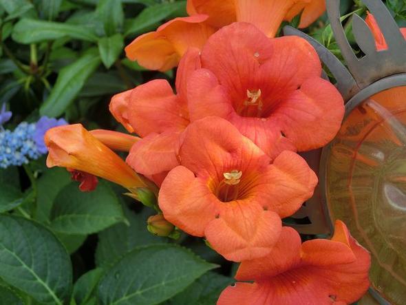 Campsis-Blüte - (Garten, Pflanzen, Pflanzenpflege)