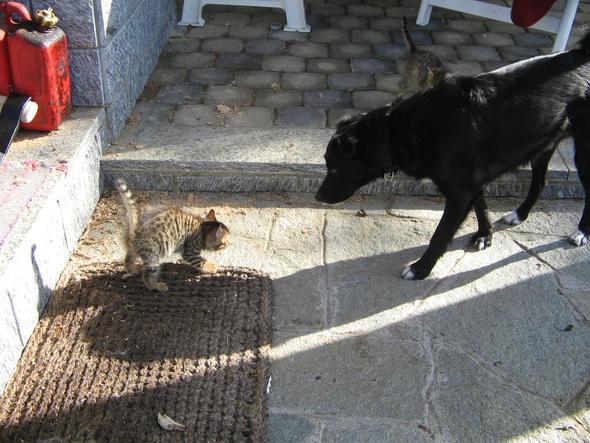 hund betreut babykatze - (Hund, Katze, säugen)
