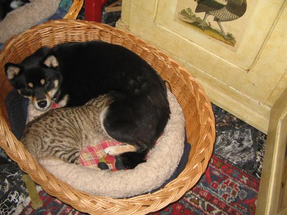 katze wird von hund gestillt - (Hund, Katze, säugen)