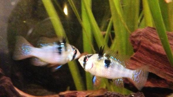 beide schmetterlings..... - (Tiere, Fische, Aquarium)