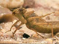 Fangmaske - (Insekten, Kaefer, Bienen)