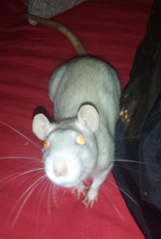 Ratten - (Tiere, Ratten, Käfig)