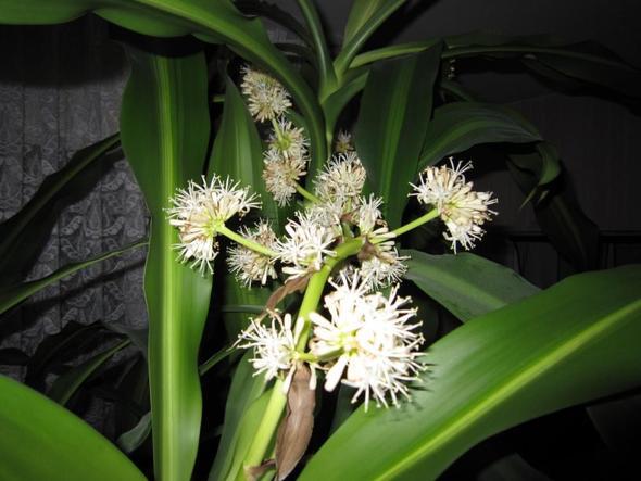 04 - (Pflanzen, bluete, Drachenbaum)