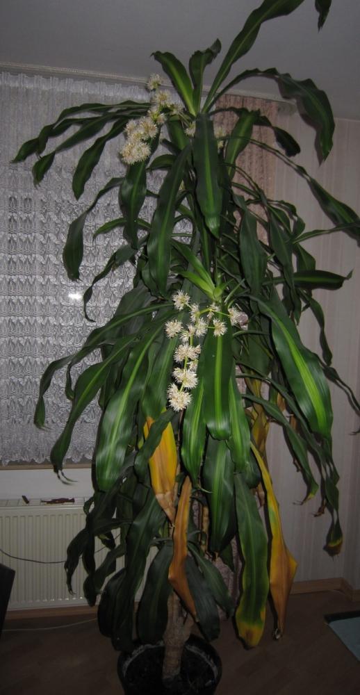 tod durch bl te bei dracaena pflanzen drachenbaum. Black Bedroom Furniture Sets. Home Design Ideas