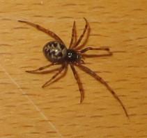 um welche spinnen arten handelt es sich bei den exemplaren auf den fotos art spinne. Black Bedroom Furniture Sets. Home Design Ideas